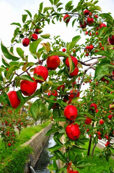 Red Apple Tree Avenue - Popular tourist spots - Dazai Museum